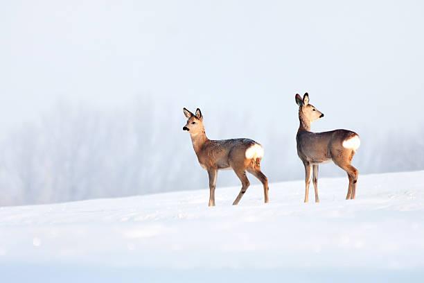 deer im winter in einen sonnigen tag. - reh stock-fotos und bilder