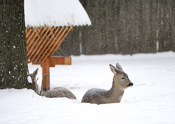 deer im winter - reh stock-fotos und bilder