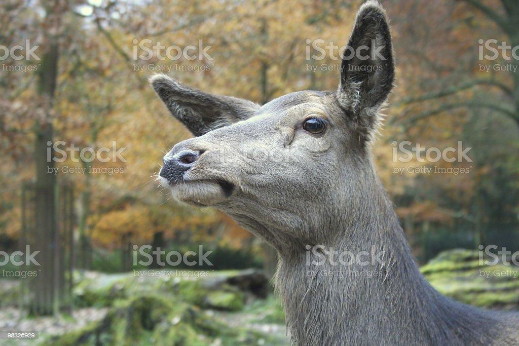 deer in woods royalty-free stock photo