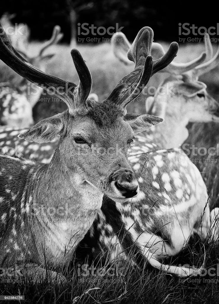 Deer in zoo Deer in zoo lying in natural park Animal Stock Photo