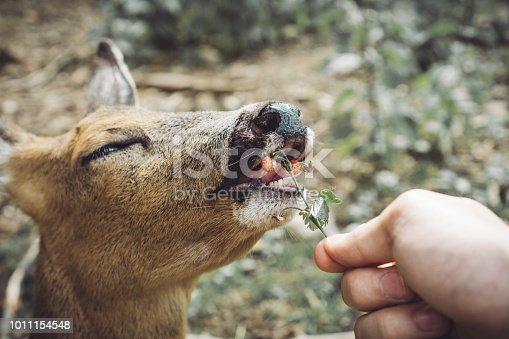 Friendly young deer