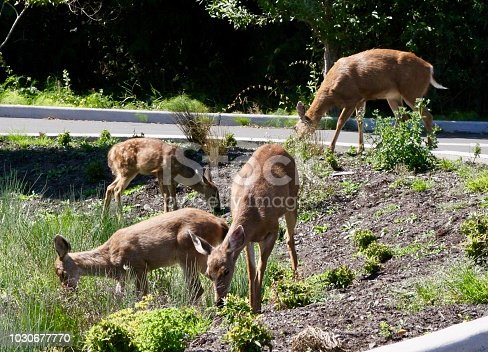 Deer invading the suburbs and eating vegetation