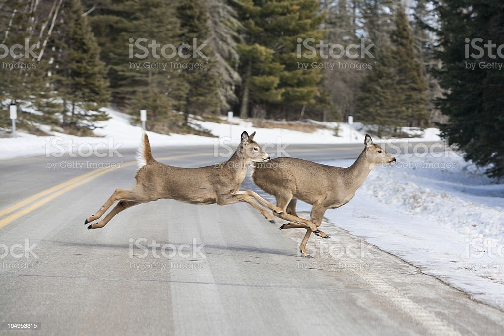 Deer jumping across the road near Itasca National Park stock photo