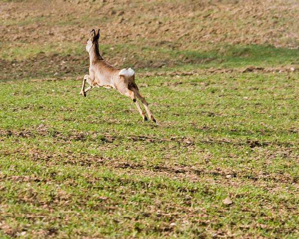 Hirsche springen – Foto
