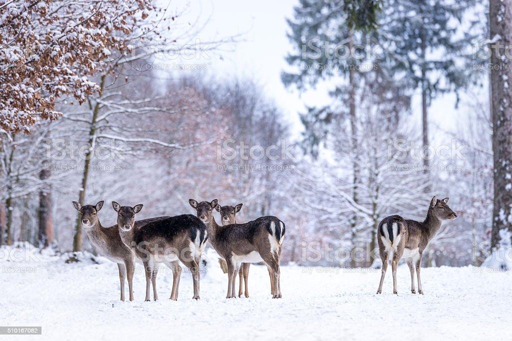 Deer Ladies in snowy Forest stock photo