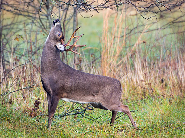 Deer Lick One way that deer communicate with one another is branch licking. rutting stock pictures, royalty-free photos & images