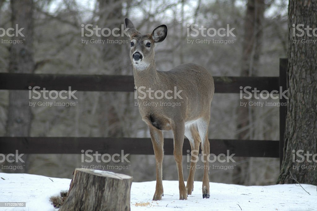 Deer listening royalty-free stock photo