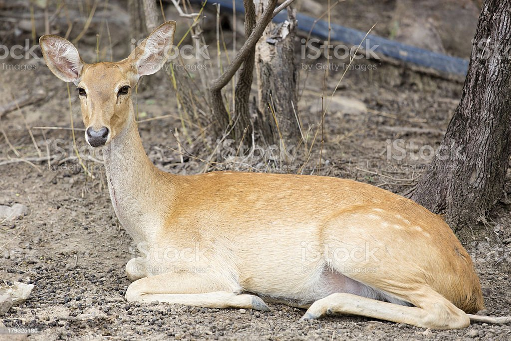 deer looking at the camera stock photo
