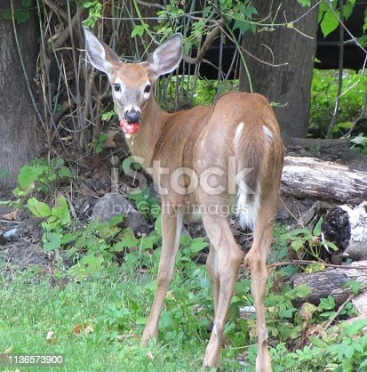 Close up of deer eating an apple