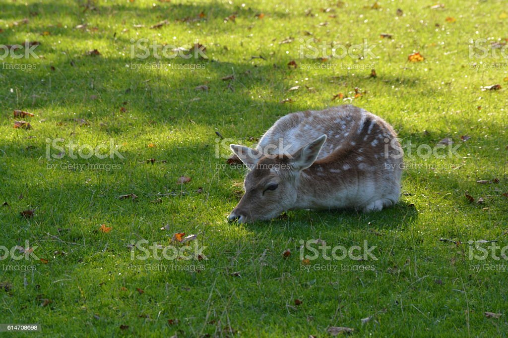 Deer lying in the grass stock photo