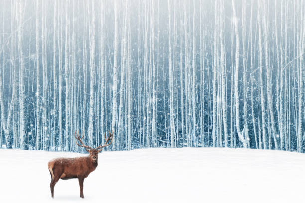 deer male with big horns in the winter snowy forest. winter natural background. christmas artistic image. - forest animals stock photos and pictures