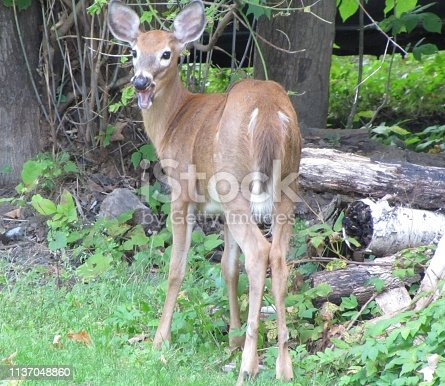 Comical shot of deer with apple in its mouth