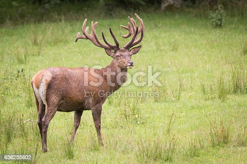 istock Deer on a meadow 636255602