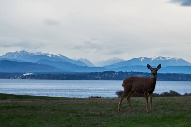 Deer on grass lawn in front of mountains and water stock photo