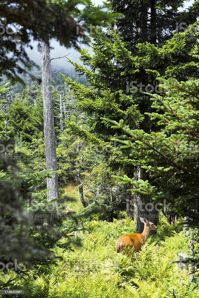 Deer in Great Smoky Mountains royalty-free stock photo