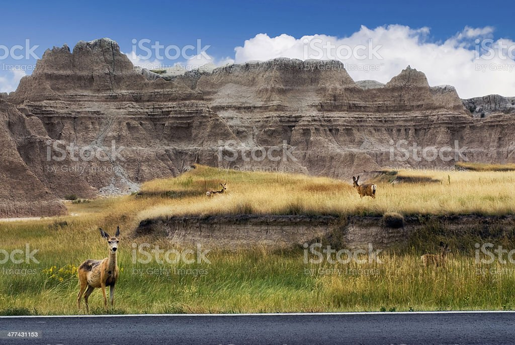 Deer on roadside,The Badlands National Park, South Dakota, USA Mule deer on roadside in The Badlands National Park, South Dakota, USA Badlands National Park Stock Photo