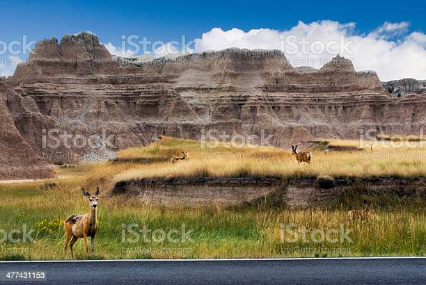 Deer On Roadsidethe Badlands National Park South Dakota Usa Stock Photo - Download Image Now