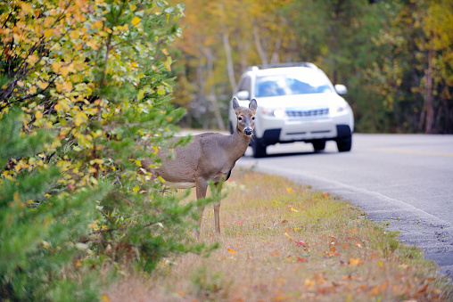 Deer canada, on an asphalt of a boreal forest of North America route. Risk of accident by car colision between the wild animal. The car collisions with Deer Crossing Road, causing injuries and fatalities among both deer and humans.