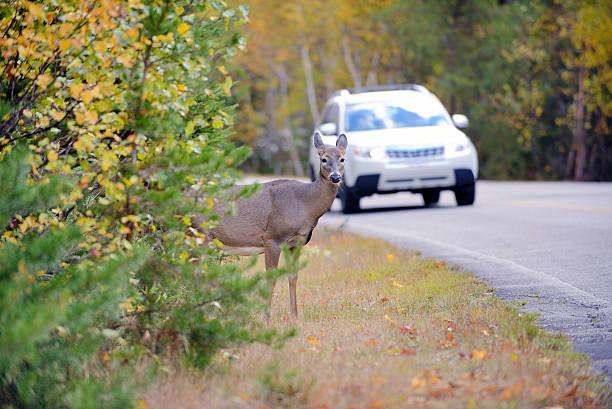 deer sur le bord de la route, juste avant le véhicule - famille du cerf photos et images de collection