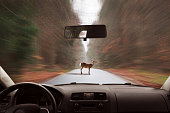 deer is standing on the road in froont of a driving car
