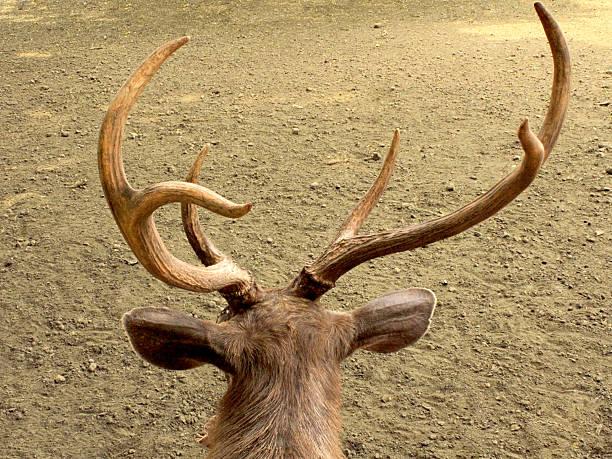 Deer over the Shoulder stock photo