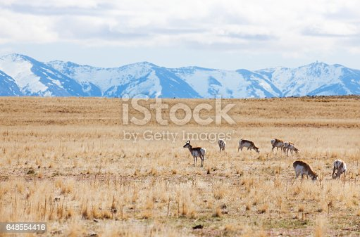 Herd of deer pasturing at grasslands of Antelope Island against snow-covered mountains