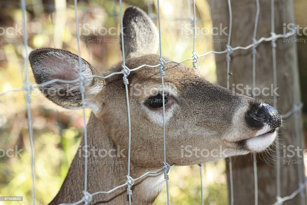 Deer peaking out of fence royalty-free stock photo