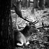a Deer is laying behind a tree