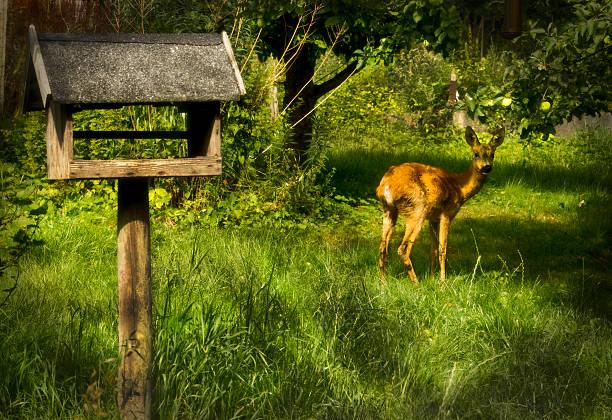 Deer Cute deer in backyard pallisgaard stock pictures, royalty-free photos & images