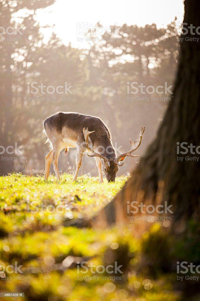Deer – Foto
