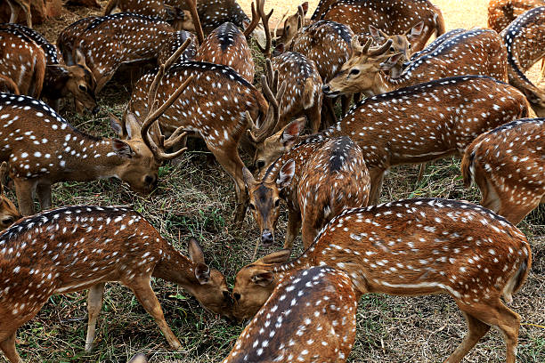 deer spotted deer axis deer stock pictures, royalty-free photos & images
