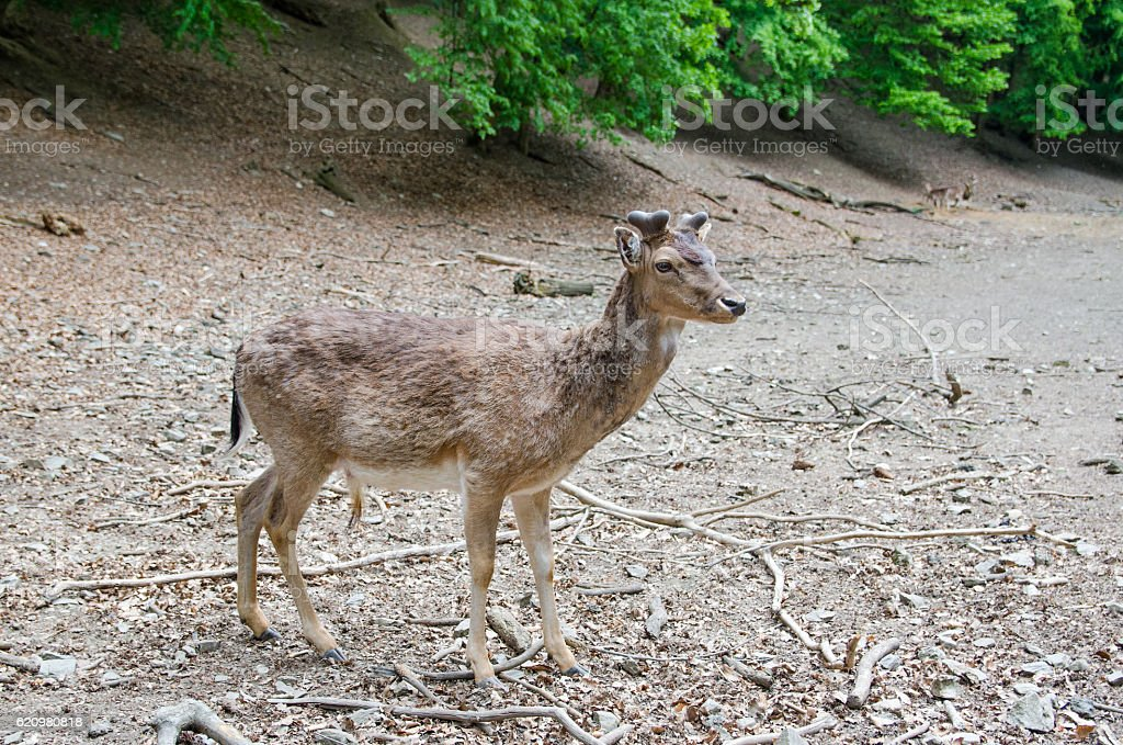 deer  foto royalty-free