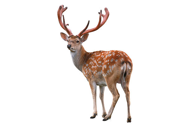 deer deer isolated in white background axis deer stock pictures, royalty-free photos & images