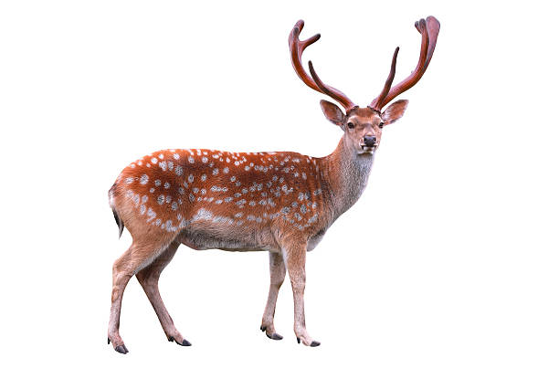 deer deer isolated on white background axis deer stock pictures, royalty-free photos & images