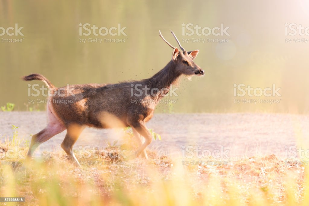 Deer. Young deer making a living in the field early morning. Agricultural Field Stock Photo
