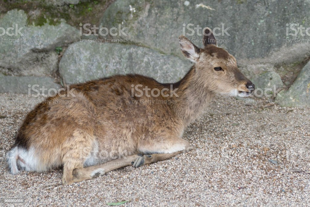 deer royalty-free stock photo