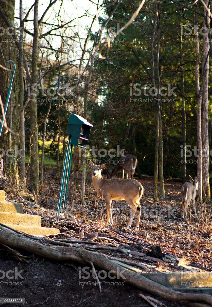 Deer zbiór zdjęć royalty-free