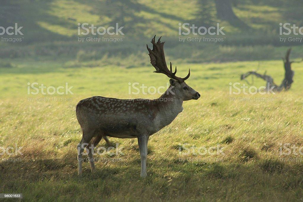 Deer royalty free stockfoto