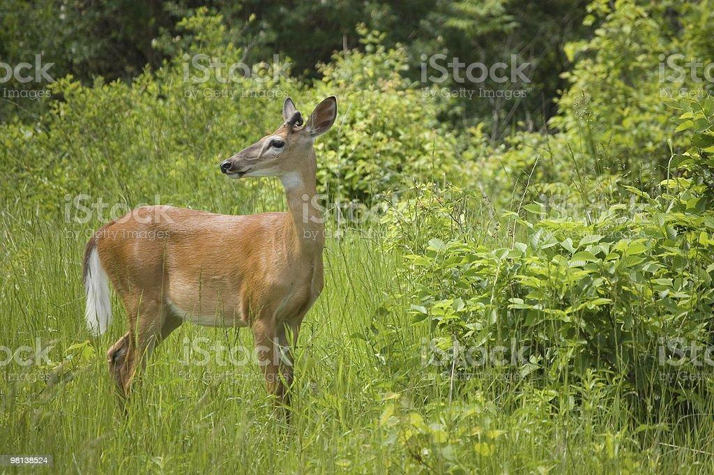 deer foto stock royalty-free