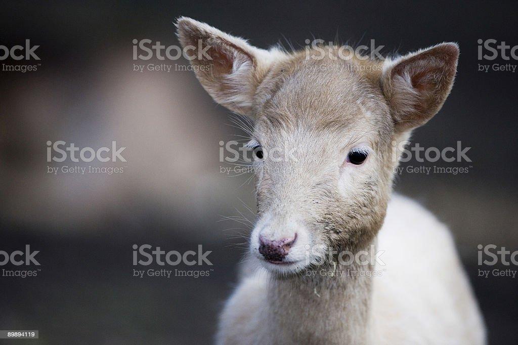 Deer portrait royalty-free stock photo