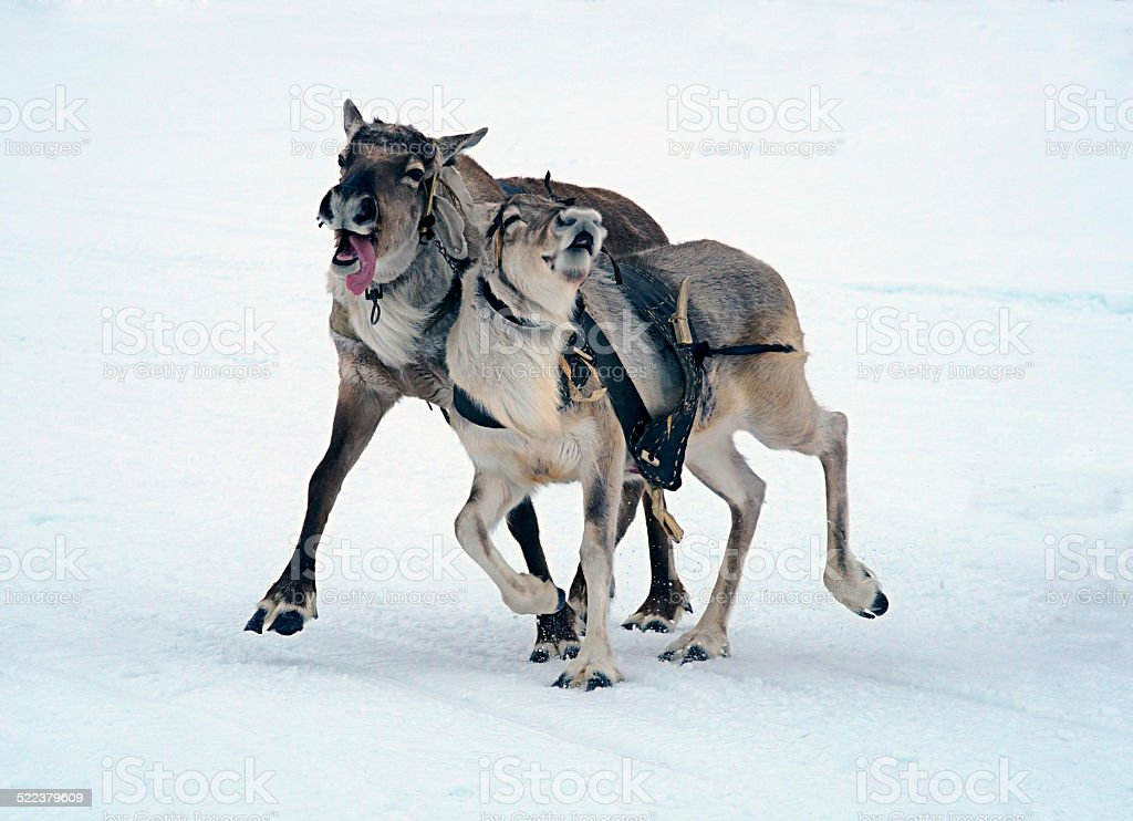 Deer racing on snow. stock photo