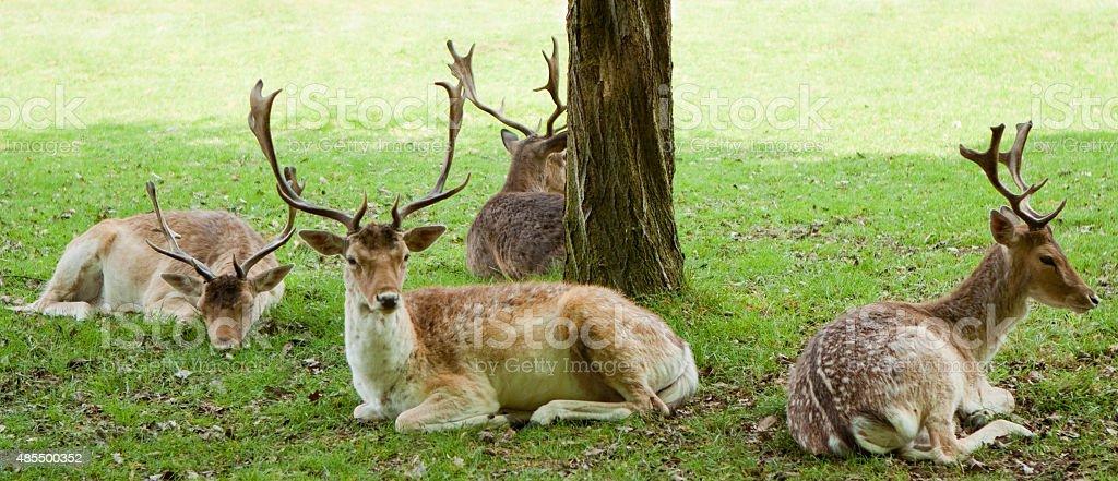 Deer resting in park stock photo