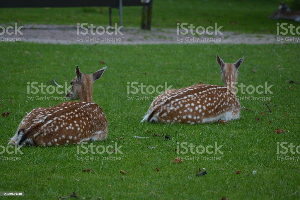 Deer resting on grass stock photo