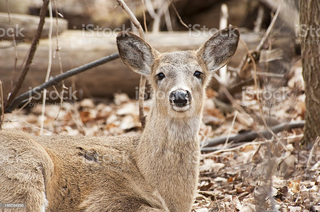 Deer Resting on the Forest Floor royalty-free stock photo