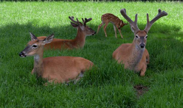 Deer Resting stock photo