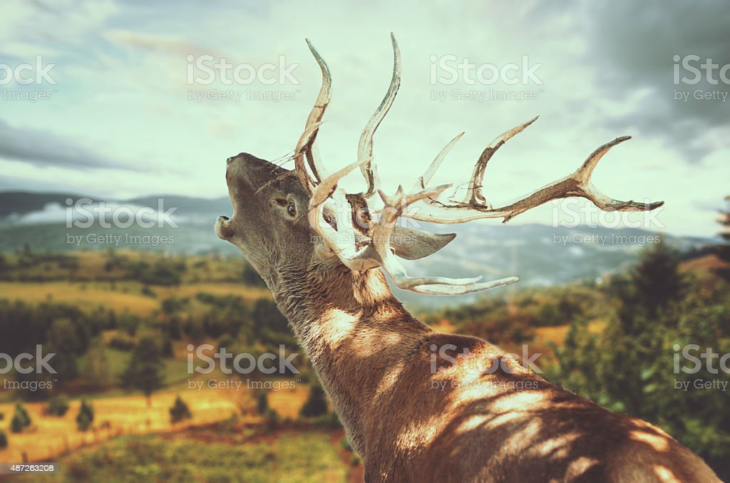 Deer roaring stock photo
