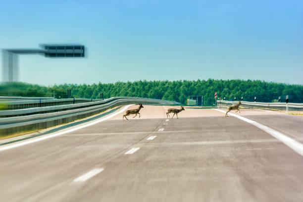 Veado atropelado em uma estrada vazia - foto de acervo
