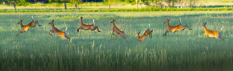 Deer running and leaping across rural grassy field at sunrise.