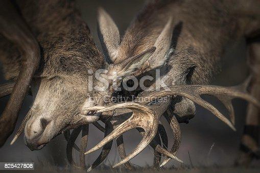 465666157 istock photo Deer Rutting 825427808