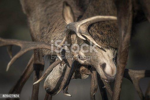 465666157 istock photo Deer Rutting 825427824